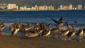 Pelicans at the beach of acapulco mexico Stock Images