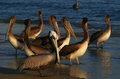 Pelicans at the beach of acapulco mexico Royalty Free Stock Photo