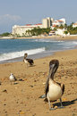 Pelicans on beach in Mexico Stock Image