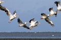 Pelicans in beautiful formations pelecanus onocrotalus flying a formation Royalty Free Stock Image