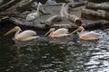 Pelicans in the berlin zoo Stock Photo