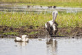Pelicans on a billabong two having bath in in kakadu national park australia Stock Image