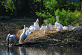 Pelicans in bird park avifauna netherlands Royalty Free Stock Photo