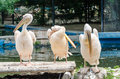 Pelicans cleaning at a local zoo Stock Image