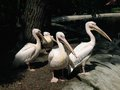Pelicans cluster on the catwalk in lodz zoo Royalty Free Stock Image