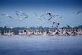 Pelicans From Danube Delta