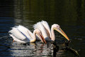Pelicans on a dark lake waiting for fish Stock Photo