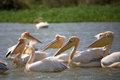 Pelicans in the djoudj national park group of Stock Image