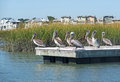 Pelicans on a dock large grey in lowland marshy area in the background are multi milllion dollar sea side homes Royalty Free Stock Photos