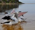 Pelicans elongated beaks in opposition swimming and playing a river with their highlighted opposing directions moore river western Stock Photography