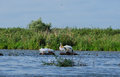Pelicans family danube delta romania Royalty Free Stock Photography