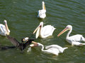 Pelicans fighting over food with coot Royalty Free Stock Image