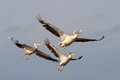 Pelicans in flight flock of near sahalin danube delta Stock Image