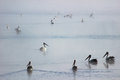 Pelicans floating on misty water many waters Royalty Free Stock Photography