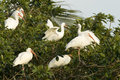 Pelicans flock of on a tree everglades national park miami florida usa Stock Images