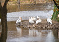 Pelicans flock of in the zoological garden Royalty Free Stock Photography