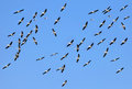 Pelicans flying in the blue sky in natural habitat Royalty Free Stock Photography