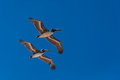 Pelicans flying in formation Stock Photography