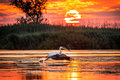 Pelicans flying at sunrise in Danube Delta, Romania Royalty Free Stock Photo