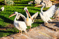 Pelicans a group of near a lagoon Stock Photography