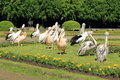 Pelicans the group of white and australian in the park in berlin Stock Images