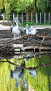 Pelicans in the lake in the park sitting on trees near with their reflections water Royalty Free Stock Photo