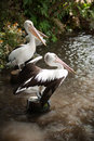 Pelicans at a lake resting Stock Images