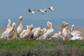 Pelicans in natural habitat group of Stock Images