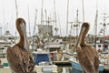 Pelicans overlook the Half Moon Bay Marina Royalty Free Stock Photos