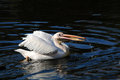 Pelicans pelican on a dark lake waiting for fish Royalty Free Stock Photos