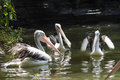 Pelicans picture of the staying in water Stock Photos
