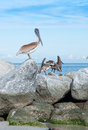 Pelicans on rocks Royalty Free Stock Photo