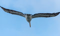 Pelicans s wingspan a pelican flying away with outstretched wings Stock Images