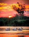Pelicans at sunrise in Danube Delta, Romania Royalty Free Stock Photo