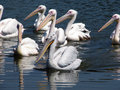 Pelicans swimming peacefully card that Royalty Free Stock Images