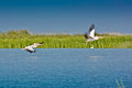 Pelicans taking off in the Danube Delta Royalty Free Stock Photo