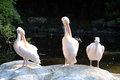 Pelicans three sit in the sun to dry their feathers Royalty Free Stock Photography