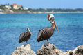 Pelicans turks and caicos islands two atop rocks in providenciales Stock Photography