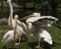 Pelicans vertical photo of three Stock Photos