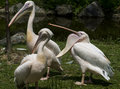 Pelicans vertical photo of three one yawning Royalty Free Stock Photo