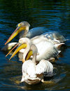 Pelicans on the water Stock Photography