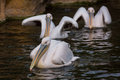 Pelicans in water Royalty Free Stock Photography
