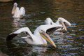 Pelicans in water Royalty Free Stock Image