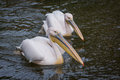 Pelicans in water Stock Photography
