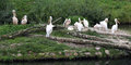 The pelicans in zoo flock grass Stock Photo