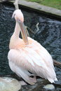 Pelikan birds in the zoo in winter nice pink feathers and big peak Stock Images