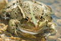 Pelophylax ridibundus Royalty Free Stock Photos