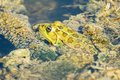 Pelophylax ridibundus Royalty Free Stock Photography