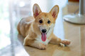 Pembroke corgi adorable cute welsh resting the is queen elizabeth s favourite breed of dogs Stock Images