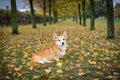 Pembroke welsh corgi in autumn sitting on the leaves Royalty Free Stock Images